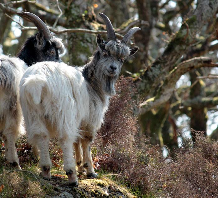 wild goats