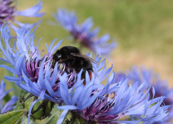 busy bee cornflower