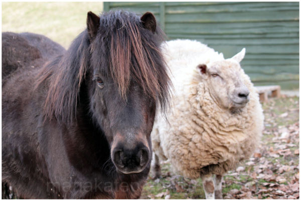 miniature horse sheep friends