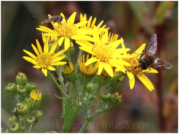 bee fly flower
