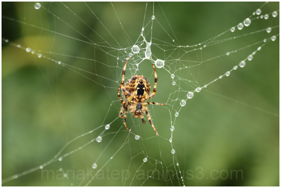 spider water droplets
