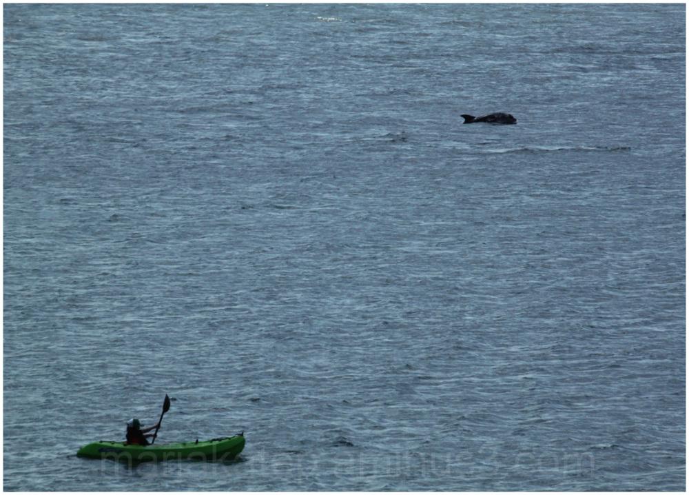 dolphin canoe