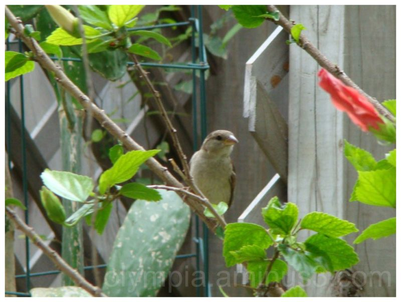 sparrow hibiscus