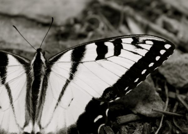 black and white of yellowtail butterfly