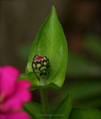 flowering bud