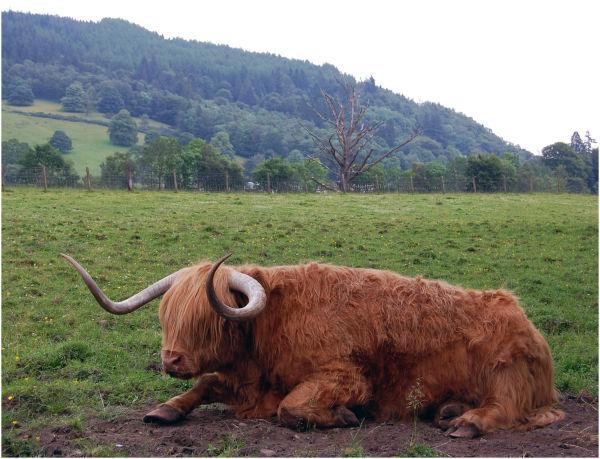 Hamish The Pedigree Highland Cow