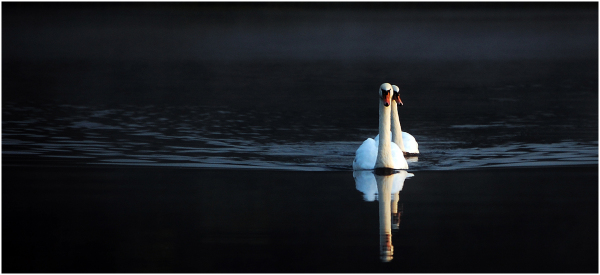 swans,nature,