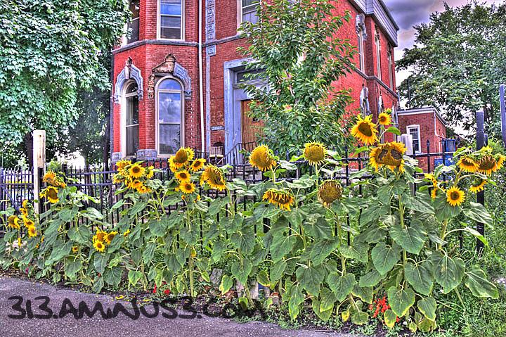 Sunflowers in Corktown