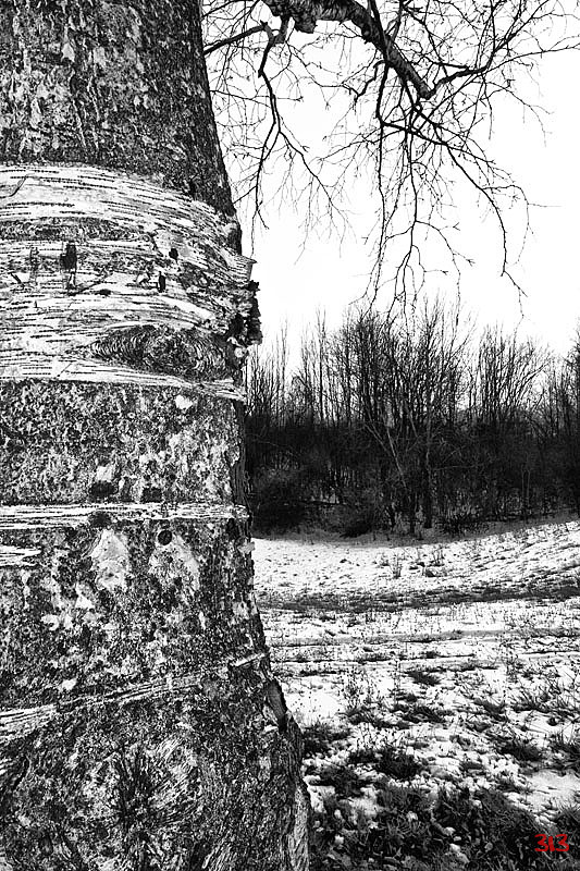The Birch Tree