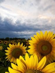 Sunflowers III  (no HDR)