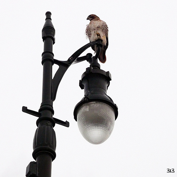 Urban Bird of Prey