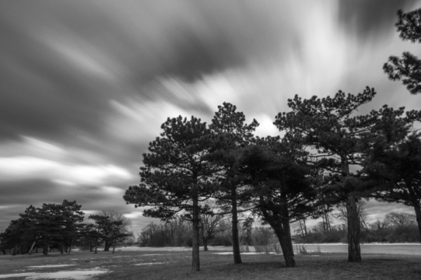 White Pines with Clouds