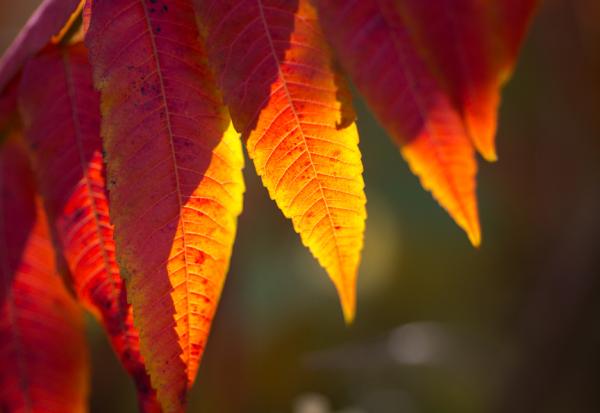 Autumn Sumac Study