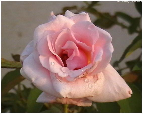 pinkyrose