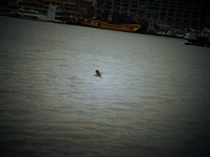 A flying bird at Huangpu River, in Shanghai, China