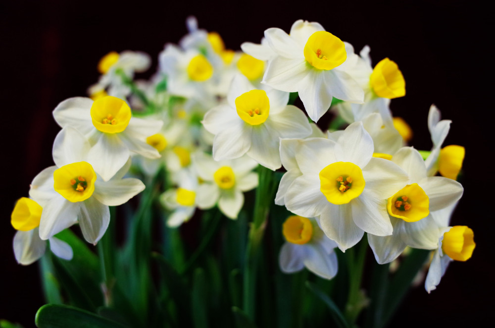 Blossoming narcissus flowers