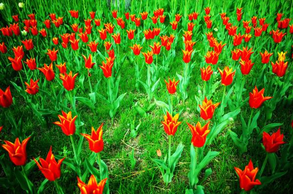 Tulips @ Beijing Zhongshan Park