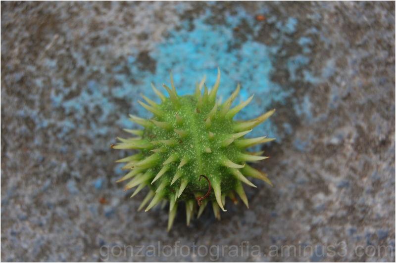 Chestnut on blue dot