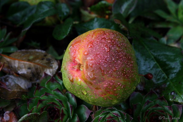 Quince-apple