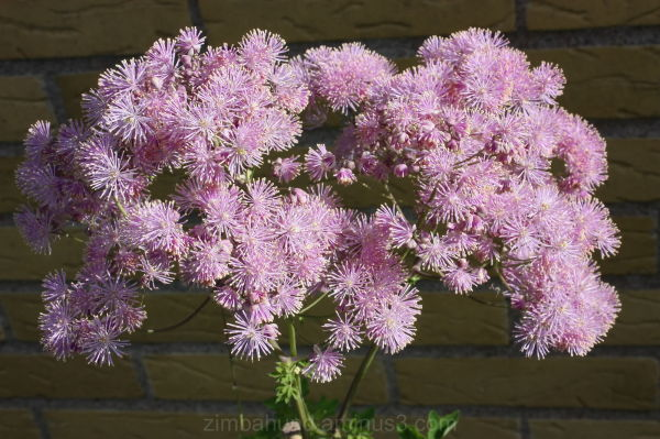 French Meadow Rue