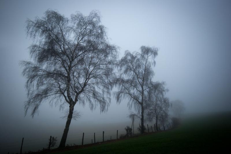 Des saules perdus dans le brouillard du Cantal