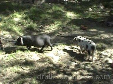Två små minigrisar i Parken Zoo i Eskilstuna