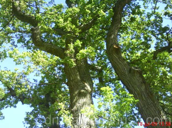 Ett stort och vackert träd