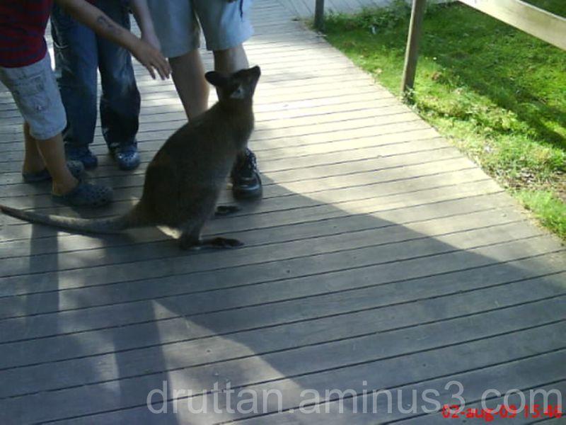 En liten känguru i Parken Zoo i Eskilstuna