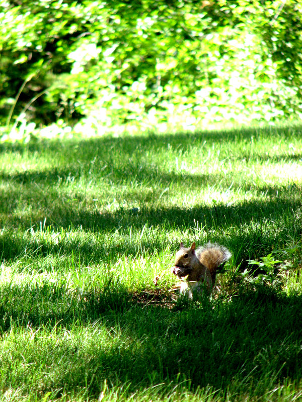 Squirrel eating sunflower seeds in the green grass