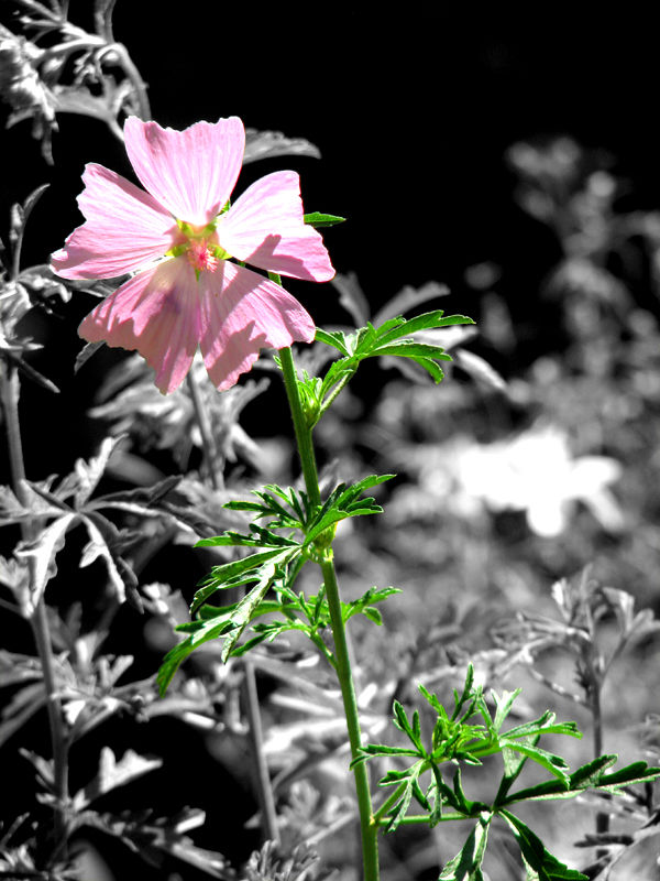 Selective color of Pink flower.