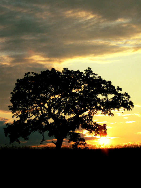 The silhouette of a lone tree against setting sun.