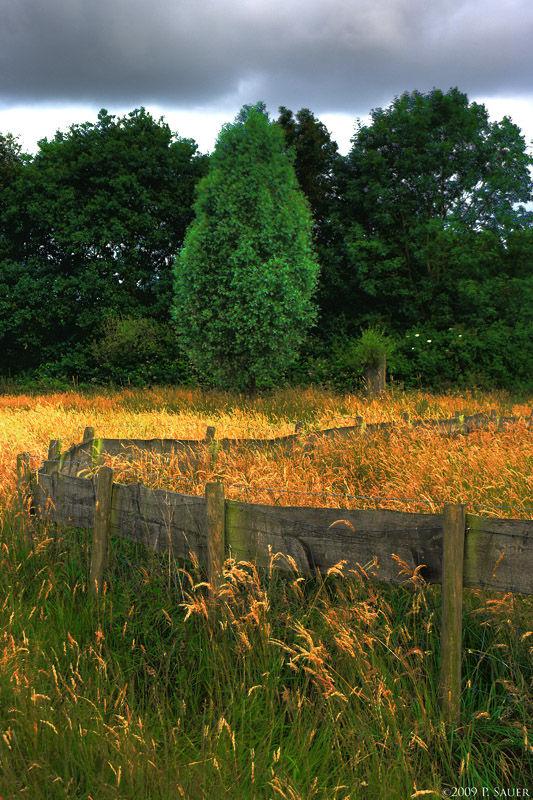 Golden summer grass