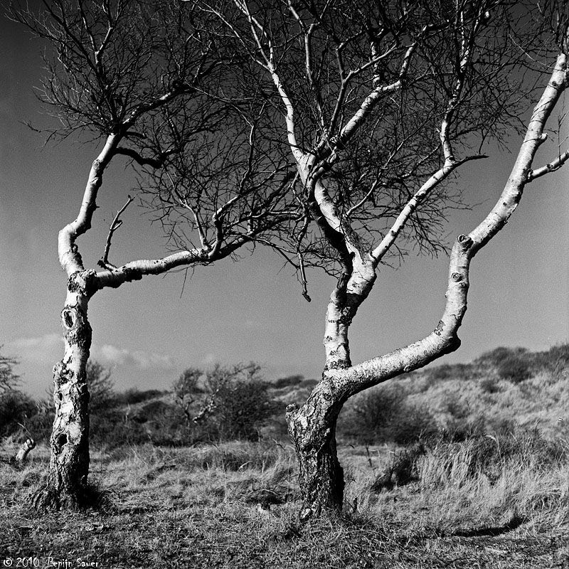 Two birches at the coast