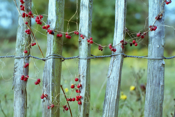 Berry Fence