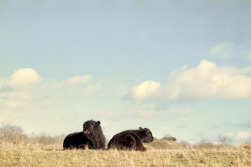 Bulls in the dunes, Dutch coast