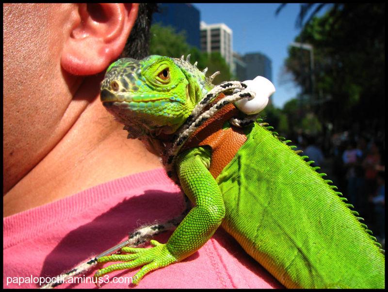 Una iguana de mascota