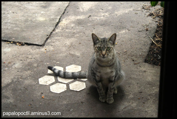 Un gato gris me observa