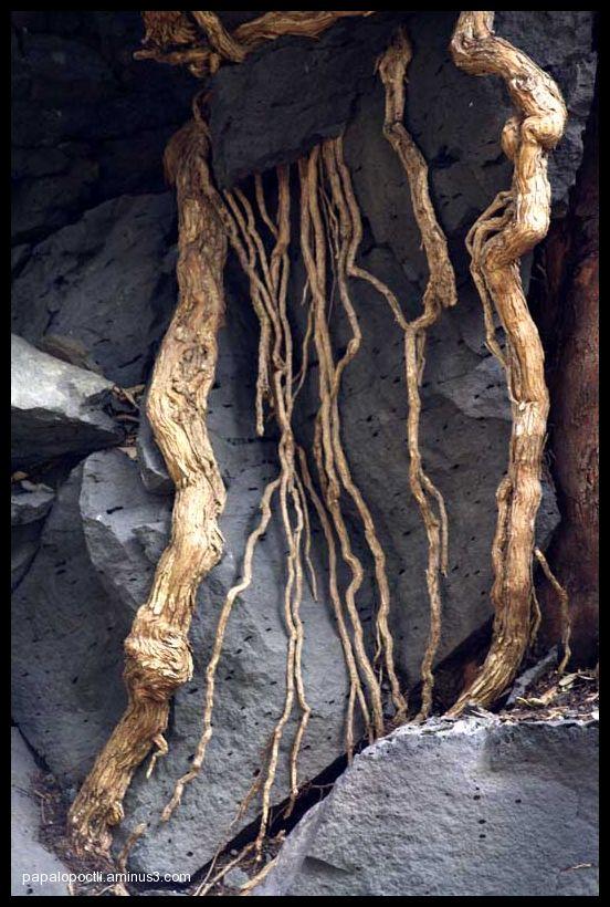 Raíces entre rocas volcánicas