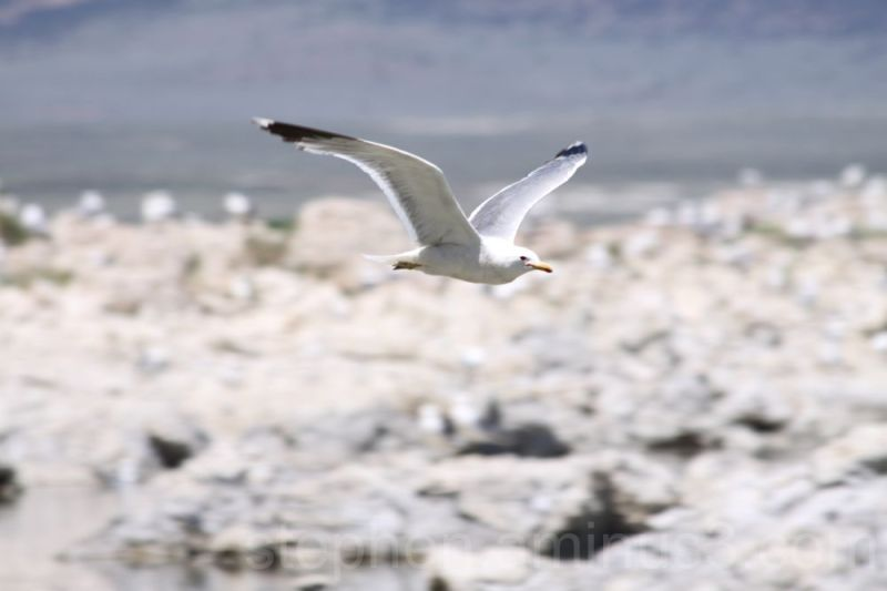 A flying seagull