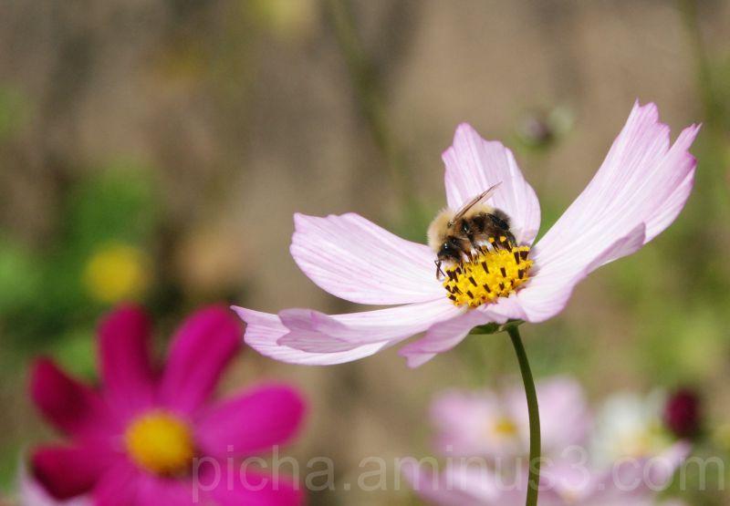 bumblebee my garden Sigulda Latvia