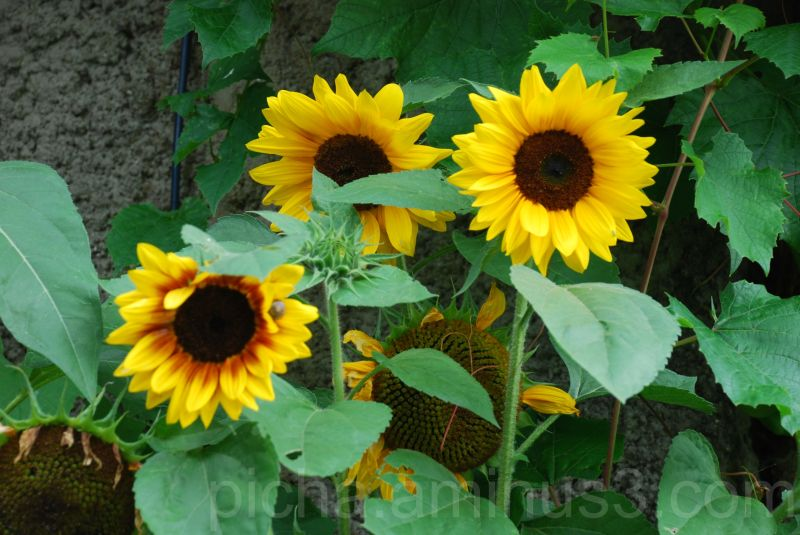 flower plant sunflower