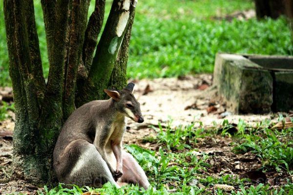 Flying Fox, Malaysia National Zoo, Kuala Lumpur