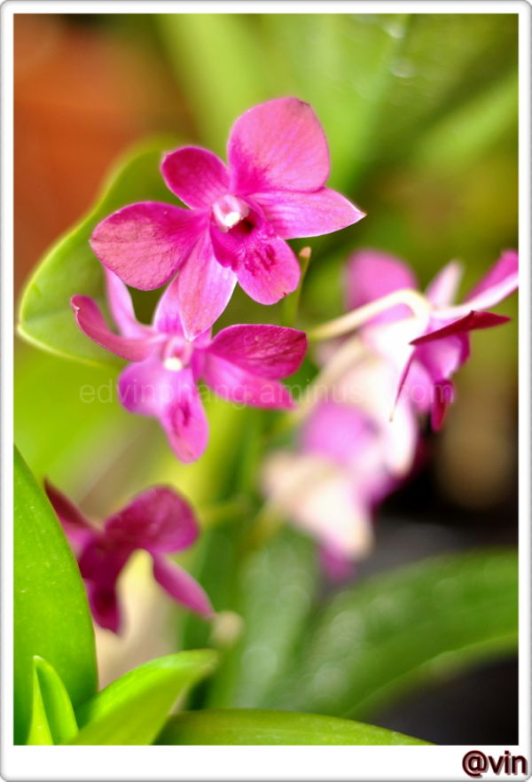 Dark Purple Orchid 2