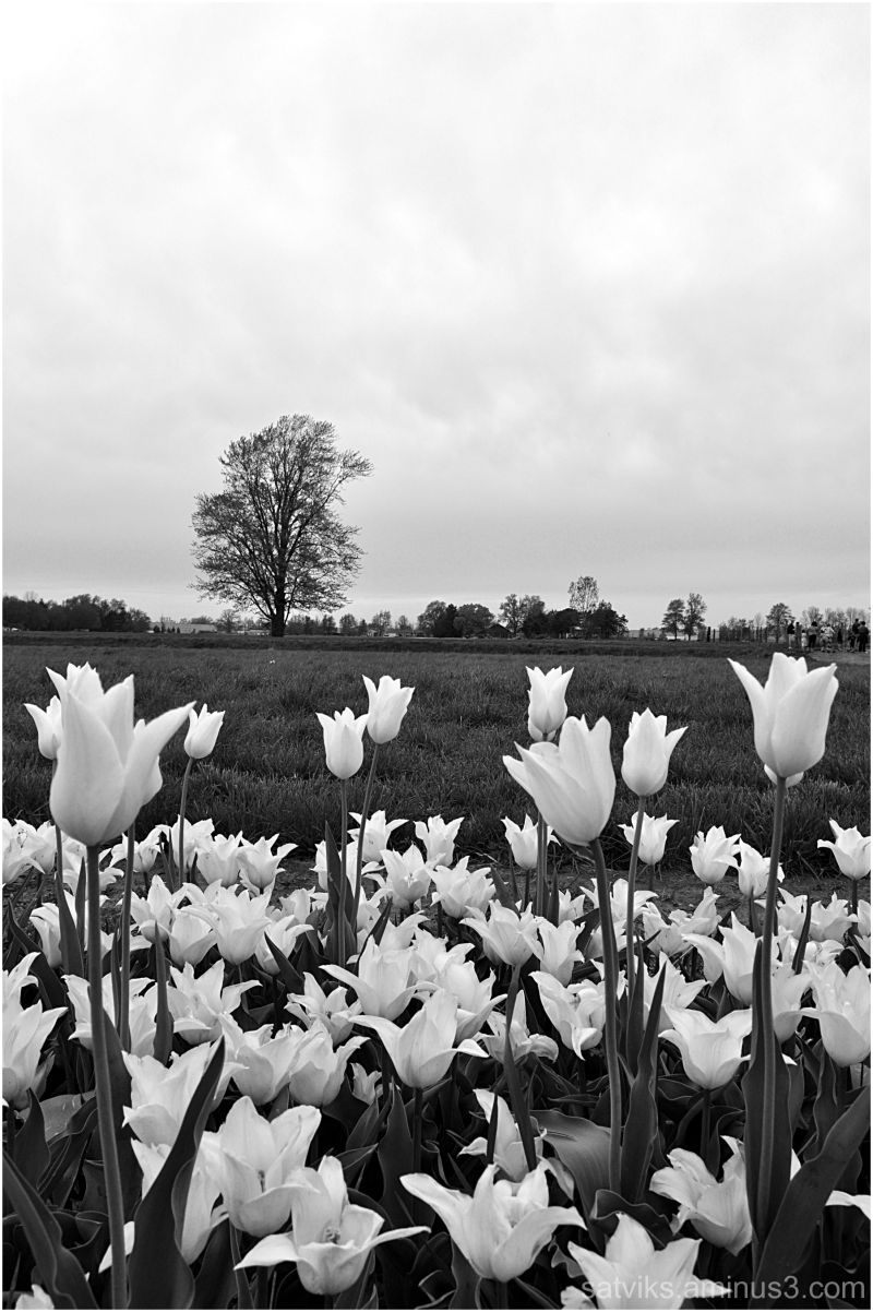 Tulips (4)