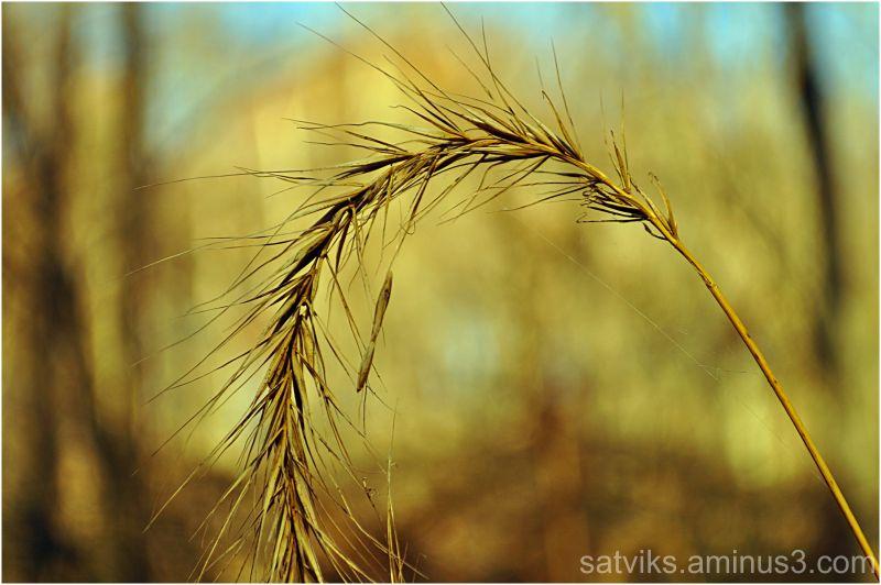 Dry seedhead