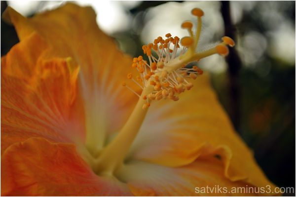 Hibiscus (2)