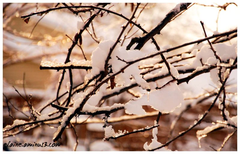 tree branches, snow