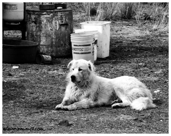 Great Pyrenees, dog