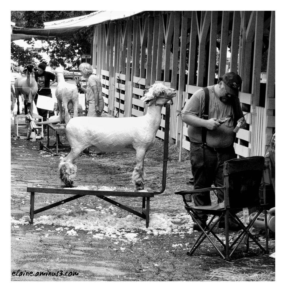 county fair sheep