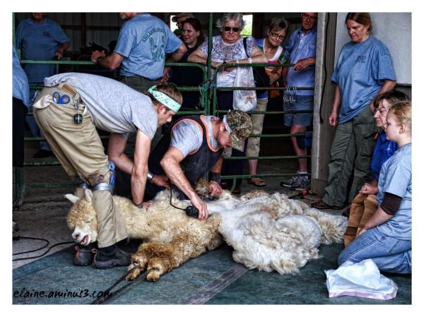 the shearing